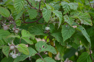Himbeere Sommerhimbeere Herbsthimbeere Beeren Sortenraritäten Sortenerhalter biologisch BIO umweltverträglich nachhaltig regional Ab Hof Gemüse Gemüseraritäten Gemüsekiste Jungpflanzen rote Himbeer  Chili Tomaten Paradeieser