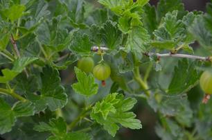Stachelbeere rosa Stachelbeere grüne Stachelbeere Beeren Sortenraritäten Sortenerhalt Sortenerhalter biologisch regional nachhaltig Bio umweltfreundlich umweltverträglich Jungpflanzen Paprika Paradeiser Beeren