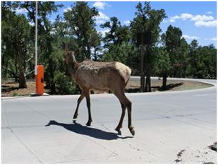 Ein Elk überquert die Straße