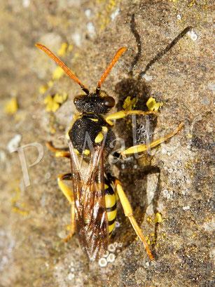 13.05.2016 : Wespenbiene auf der Lauer vor einem Sandbienennistgang