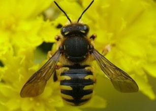 Auf artenreichen Flächen lässt sich unter anderem die Große Wollbiene anlocken, Foto: © Dr. A. Fleischmann