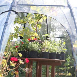 Endlich ein stabiles mobiles Gewächshaus! Die Sun Bubble schützt die Tomaten im vor Sommerregen und ist perfekt für die Anzucht im Frühjahr. www.the-golden-rabbit.de