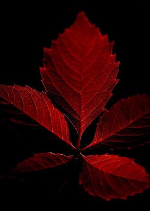 Avec l'automne, les feuilles commencent à jaunir, voire à rougir