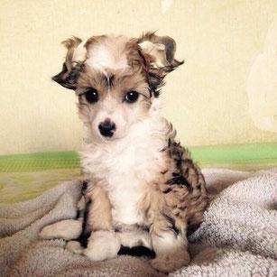 пуховая сука китайской хохлатой собаки