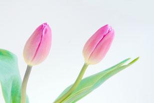 2輪のピンクのチューリップ。
