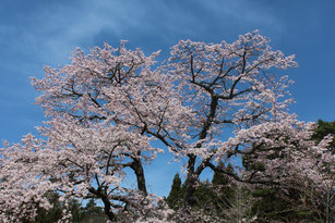 大法寺 桜