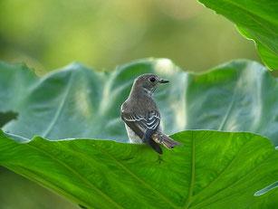 ・2007年10月6日 武山 ・サトイモの葉っぱに溜まった雨水を飲んでいた。武山には、水場らしきところがないので、まさに自然の恵みだ。