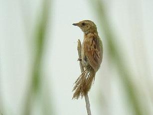 ・2006年8月26日 笹川  ・チュルチュルチュルと囀り飛行しながらフライングキャッチ(ディスプレイか)していた。・セッカの尾羽の先には黒帯があり、先端が白いが、オオセッカは単一褐色。鳴き声が明らかに違う。