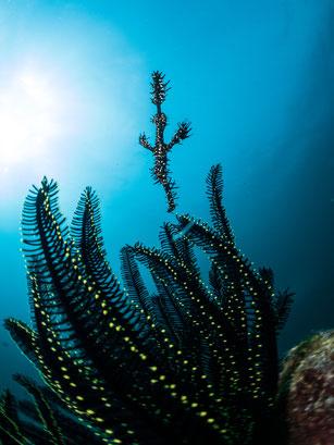 ghost pipefish, Pulau Weh