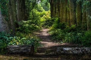 Pappelwald-Weg mit Büschen und Baumstämmenn