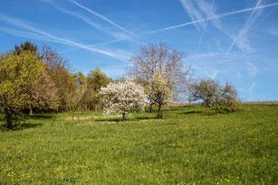 Frühling in den Streuobstwiesen mit Baumblüte