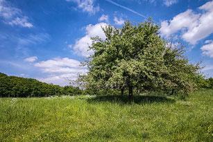 Obstbaum auf Frühlingswiese
