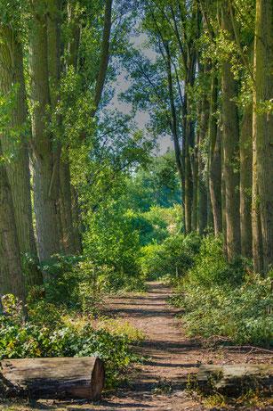 Pappelallee im Sommer mit Büschen
