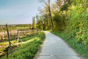 Wanderweg in den Weinbergen neben Reben