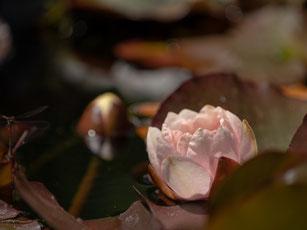 Eine geöffnete Seerose in einem Teich aus Seerosenblättern mit den Farben braun, grün und rot.