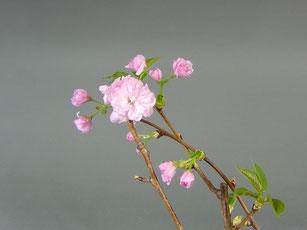 Blüte von Jap. Nelkenkirsche Prunus serrulata ´Kanzan´