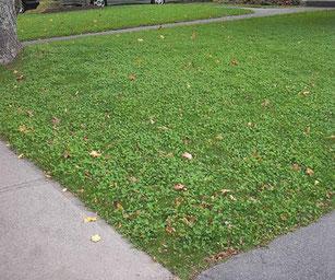 Clover lawn is growing on poor soil