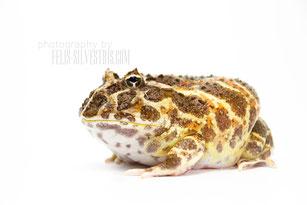 Juni 13, Froschkönig