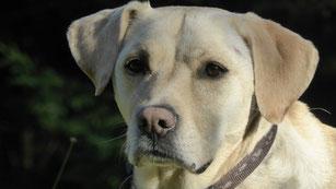 La tête d'un labrador sable avec une truffe dépigmentée par coach canin 16 educateur canin angouleme