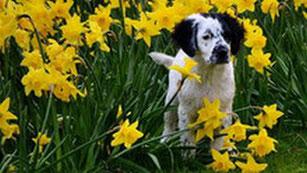 Un chien setter blanc et noir dans un champs de fleurs jaunes par coach canin 16 educateur canin en charente
