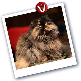 """Perserkatze """"Swiffer"""", Katze von Birge Herkts Tochter, Merle Herkt in einer zweckentfremdeten Brötchenschale"""