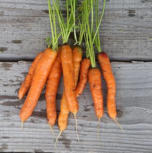 Saatgut für alte und bewährte Gemüsesorten bei www.the-golden-rabbit.de