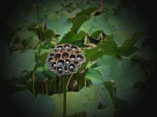 Samenkörner einer Lotuspflanze bergen das Potenzial vieler neuer Pflanzen in sich.
