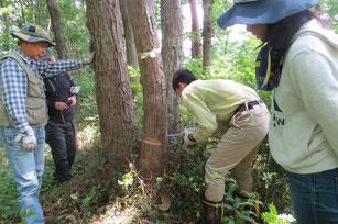 立ち枯れた木を切り倒す