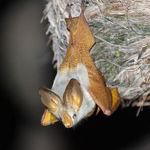 Pipistrello dalle ali gialle (Lavia frons)