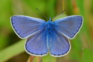 Zu den Arten, die untersucht wurden, gehört der Hauhechel-Bläuling (Polyommatus icarus), der deutlich zurückgegangen ist.  Foto: Erk Dallmeyer