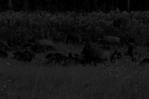 Ein Schock für jeden Revierinhaber. Mit einem hochwertigen Restlichtverstärker kann zwar sauber angesprochen werden, aber bei einer Rotte von rund 25 Schweinen kein Schuss angetragen werden, da der Wechsel auf Zielfernrohr nur Umrisse erkennbar macht.