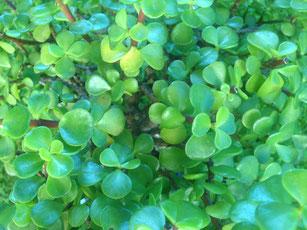 Blätter von einem Jadebaum welche in der Lage sind Wasser über längere Zeit zu speichern.