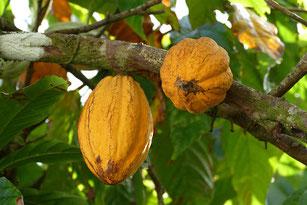 Mit getrockneten Kakaoschalen mulchen