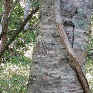 熊の爪痕 北海道の原生林で