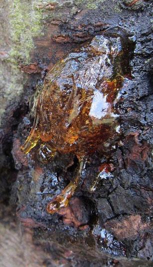 Kirschbaum Kirsche Harz