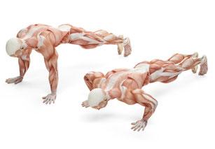 Illustration der beanspruchten Muskulatur beim Liegestütz