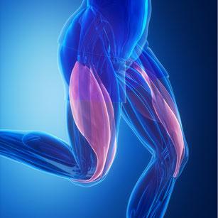 Schema der Beinmuskulatur als Illustration