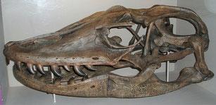 Schädel von V. priscus