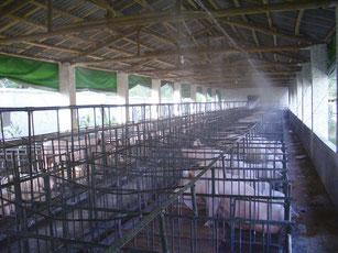 NS乳酸菌散布で豚舎でウイルス防止と、悪臭公害解消。