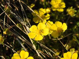 Hahnenfuß (Ranunculus, Foto: D. Chalwatzis