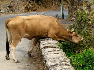 eine Kuh die sich zu helfen weiss