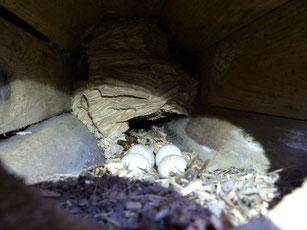 30.12.2015 Aufgegebenes Steinkauzgelege mit Hornissennest im vorderen Kastenbereich - Foto: S. Wagner