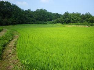夏:太陽の光をたくさん浴び稲はすくすくと背を伸ばします