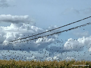 Vögel sammeln sich auf einer Stromleitung (2)