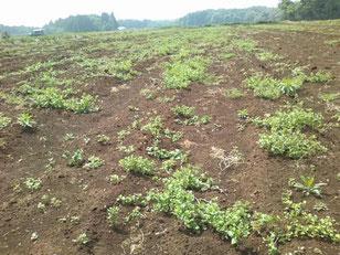雑草が多くなってきた畑