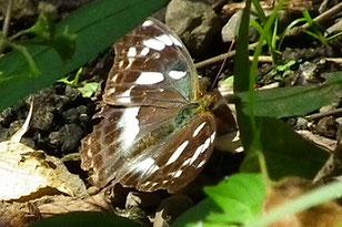 ・2010年10月8日  市野谷  最初に見た時、オオムラサキまたは、大型のイチモンジチョウかと思った。 帰って図鑑で調べると、メスグロヒョウモン♀とわかった。 ツマグロヒョウモンは、よく目にするが、メスグロヒョウモンは初見。