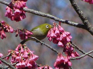 ・2009年3月15日 柏の葉公園  ・寒緋桜について、公園の案内板によると、「台湾~中国原産の桜。日本では、沖縄に野生化していて、1月下旬頃から咲く。」とのこと。