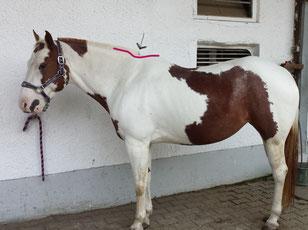 Der Axthieb beim Pferd