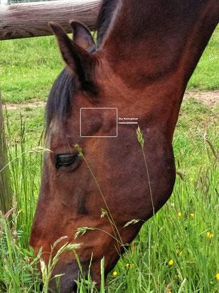 Kiefergelenk Pferd
