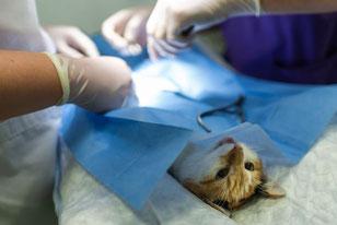Petit chat en chirurgie
